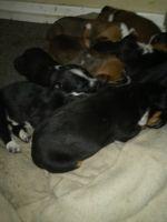 Perro de Presa Canario Puppies for sale in Albert Lea, MN 56007, USA. price: NA