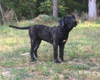 Perro de Presa Canario Puppies for sale in Linden, NJ, USA. price: NA