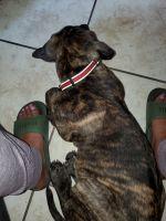 Perro de Presa Canario Puppies for sale in Miami, FL, USA. price: NA