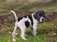 Perro de Toro Puppies Photos
