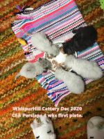 Persian Cats for sale in Logansport, IN 46947, USA. price: NA