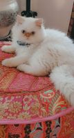 Persian Cats for sale in Long Beach, CA, USA. price: NA