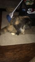Persian Cats for sale in Dayton, OH, USA. price: NA