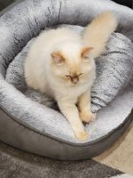 Persian Cats for sale in New Britain, CT, USA. price: NA