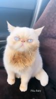 Persian Cats for sale in Murrieta, CA, USA. price: NA