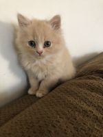 Persian Cats for sale in Cincinnati, OH 45237, USA. price: NA