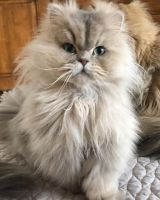 Persian Cats for sale in New York, NY, USA. price: NA