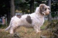 petit basset griffon vendeen dog