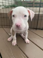 Petit Bleu de Gascogne Puppies for sale in Indianapolis, IN, USA. price: NA