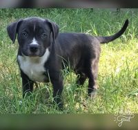 Petit Bleu de Gascogne Puppies for sale in Atlanta, GA, USA. price: NA