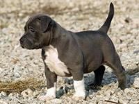 Petit Bleu de Gascogne Puppies for sale in CA-111, Rancho Mirage, CA 92270, USA. price: NA
