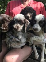 Petit Bleu de Gascogne Puppies for sale in Colorado Ave, Santa Monica, CA, USA. price: NA