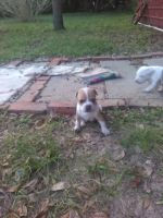 Petit Bleu de Gascogne Puppies for sale in 16225 Whippoorwill Ln, Spring Hill, FL 34610, USA. price: NA