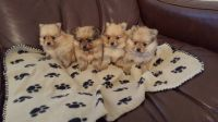 Petit Gascon Saintongeois Puppies Photos