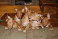 Pharaoh Hound Puppies for sale in Wyoming, NY 14591, USA. price: NA