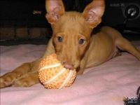 Pharaoh Hound Puppies for sale in Albuquerque, NM, USA. price: NA