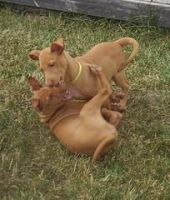 Pharaoh Hound Puppies for sale in West Valley City, UT, USA. price: NA