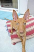 Pharaoh Hound Puppies for sale in Boca Raton, FL, USA. price: NA