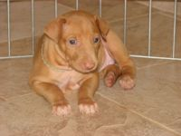 Pharaoh Hound Puppies for sale in Los Angeles, CA, USA. price: NA