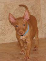 Pharaoh Hound Puppies for sale in Miami Beach, FL, USA. price: NA