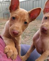 Pharaoh Hound Puppies for sale in Chico, CA, USA. price: NA