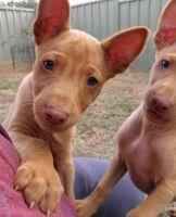 Pharaoh Hound Puppies for sale in Edmond, OK, USA. price: NA