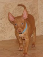 Pharaoh Hound Puppies for sale in New York, NY, USA. price: NA