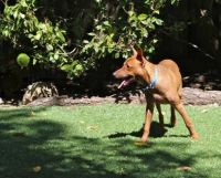 Pharaoh Hound Puppies for sale in Los Angeles, CA 90012, USA. price: NA