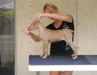 Pharaoh Hound Puppies for sale in San Francisco, CA 94107, USA. price: NA