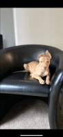 Pharaoh Hound Puppies for sale in Charleston, SC, USA. price: NA