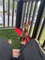 Pharaoh Hound Puppies Photos