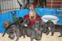 Picardy Spaniel Puppies for sale in Birmingham, AL, USA. price: NA