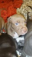 Picardy Spaniel Puppies for sale in Phoenix, AZ, USA. price: NA