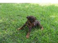 Picardy Spaniel Puppies for sale in Los Angeles, CA, USA. price: NA