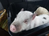 Pig Animals for sale in Gouverneur, NY 13642, USA. price: NA