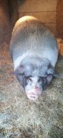 Pig Animals for sale in Thurston County, WA, USA. price: NA