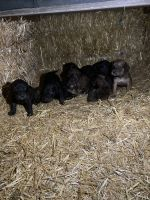 Plott Hound Puppies for sale in Bonners Ferry, ID 83805, USA. price: NA