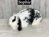 Plush Lop Rabbits for sale in Rockmart, GA 30153, USA. price: NA