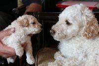 Podenco Galego Puppies Photos