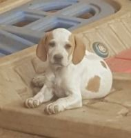 Polish Hunting Dog Puppies for sale in TX-121, Blue Ridge, TX 75424, USA. price: NA