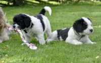 Polish Lowland Sheepdog Puppies Photos