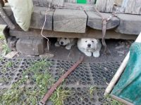 Polish Tatra Sheepdog Puppies for sale in Lemont, IL, USA. price: NA