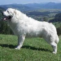 polish tatra sheepdog dog