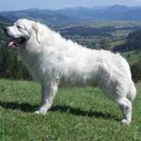 polish tatra sheepdog dog