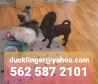 Pomeranian Puppies for sale in 1925 Kwis Ave, Hacienda Heights, CA 91745, USA. price: NA
