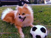 Pomeranian Puppies for sale in Sparta, TN 38583, USA. price: NA