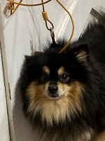Pomeranian Puppies for sale in Newburgh, NY 12550, USA. price: NA
