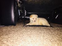 Pomeranian Puppies for sale in White Marsh, MD, USA. price: NA