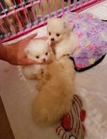 Pomeranian Puppies for sale in Redfield, SD 57469, USA. price: NA