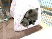 Pomeranian Puppies for sale in Fairfield, IA, USA. price: NA
